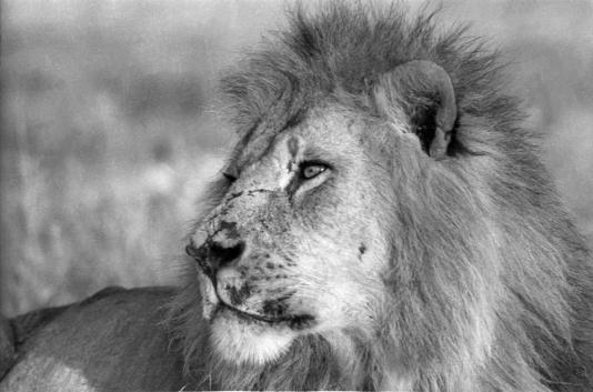 The Lion King by Vicente Lim, Jr. taken at Tsavo, Kenya.